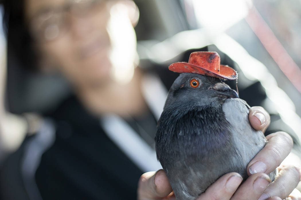 "Mariah Hillman of Lofty Hopes pigeon rescue holds ""Billie the Pidge"" on Tuesday, Dec. ..."