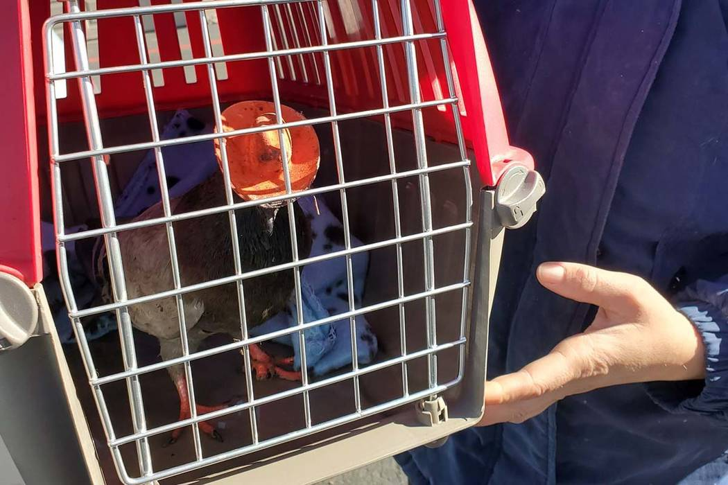 """Billie the Pidge,"" a third pigeon with a cowboy hat attached to its head, was found near Maryl ..."