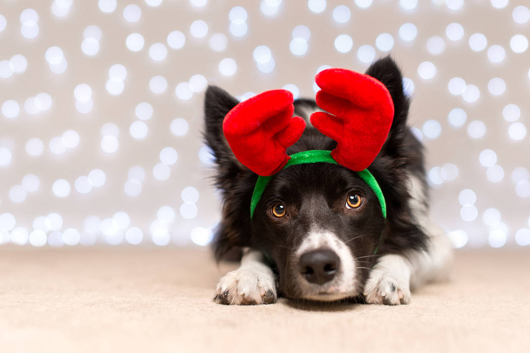 Black and White Border Collie with Antlers and Fairy Light Bokeh