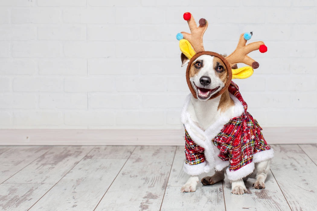 Dog in a christmas costume. Happy pet