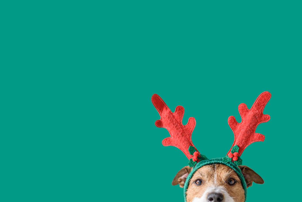 Head of Jack Russell Terrier with deer antlers