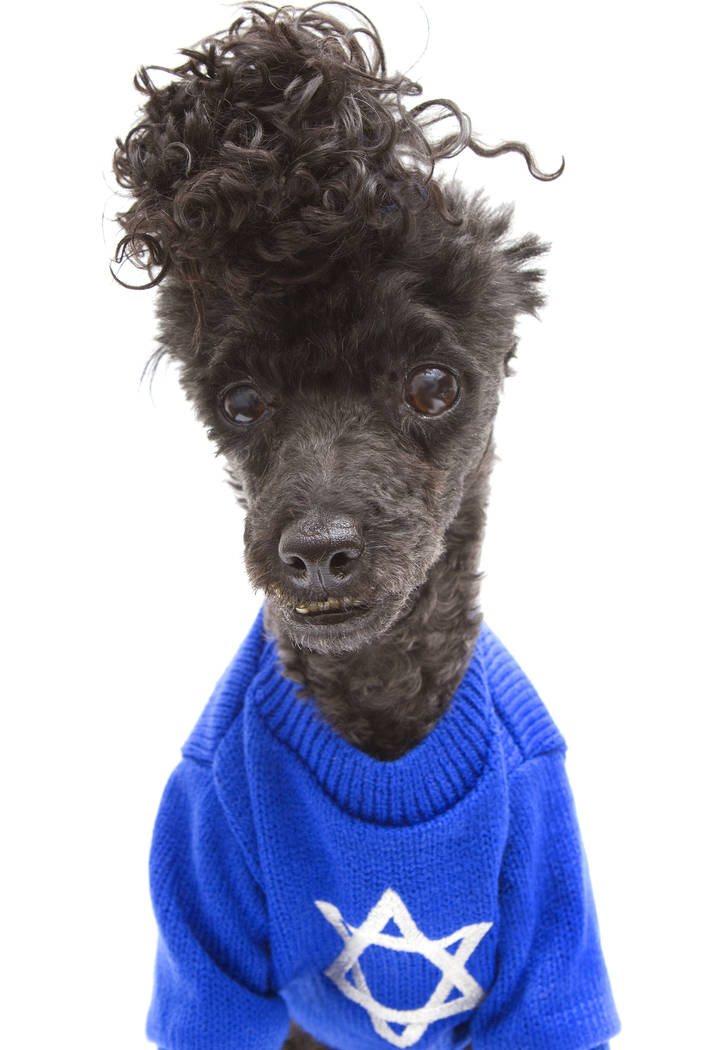 A poodle, isolated on a white background, wears a blue Hanukkah sweater.