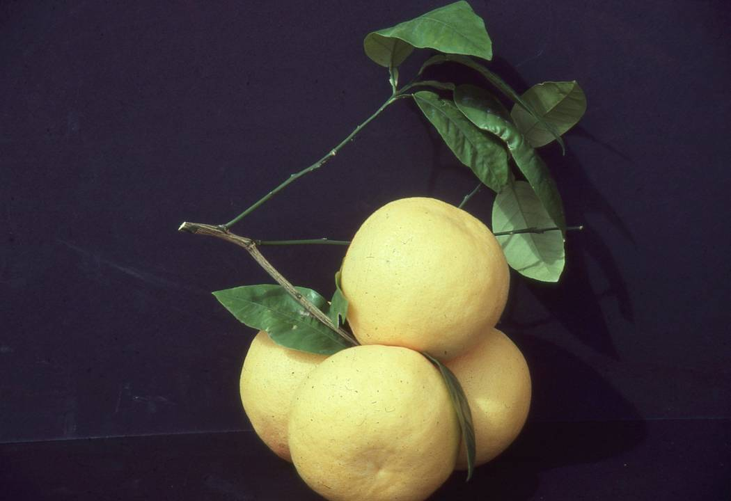 All citrus trees are subtropical. Cold temperatures can wreak havoc on these trees in our much ...