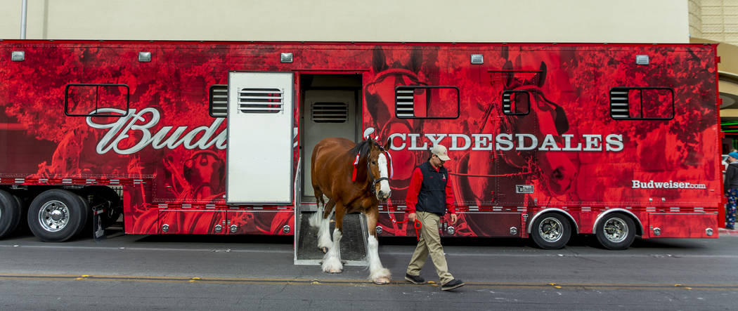 Andrew Lacrosse leads out another horse from a trailer as the world-famous Budweiser Clydesdale ...