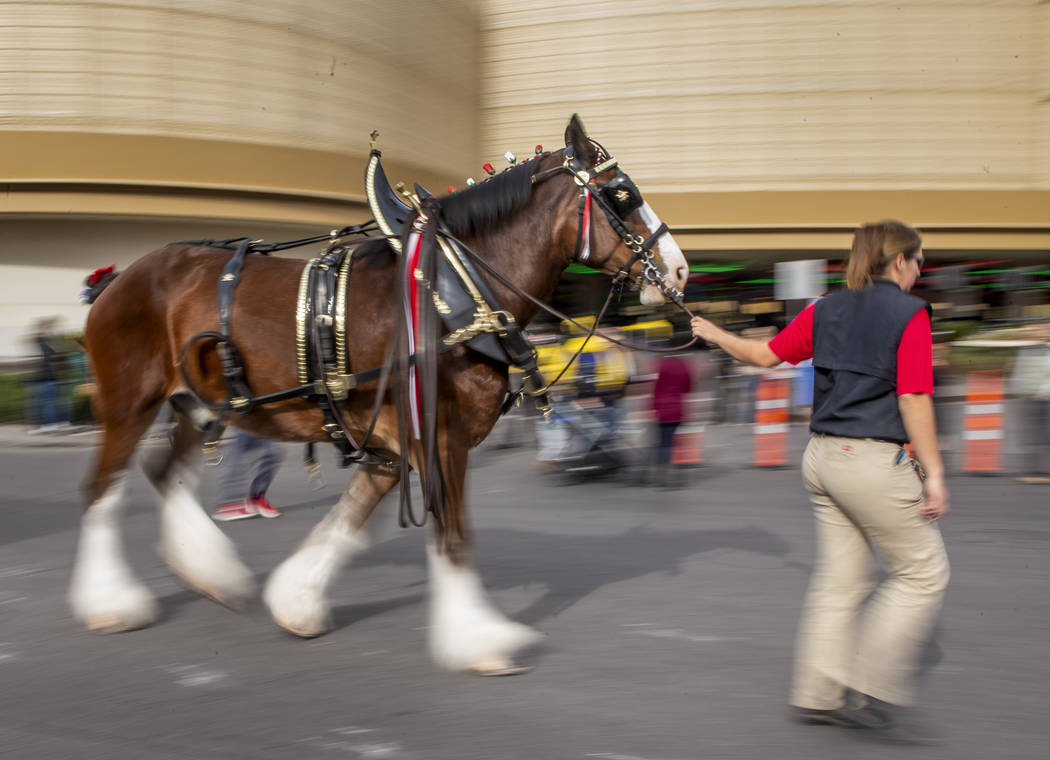 One of eight horses are led to the Budweiser red beer wagon as the world-famous Budweiser Clyde ...