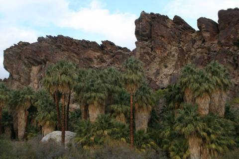 There are four main canyons: Palm, Andreas, Murray and Tahquitz, all home to the California fan ...