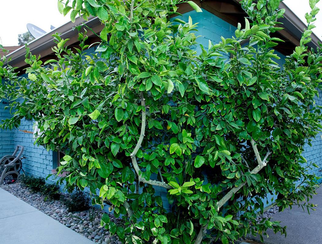 Neighbors still remember Mary Porter's lemon tree. (Tonya Harvey Real Estate Millions)