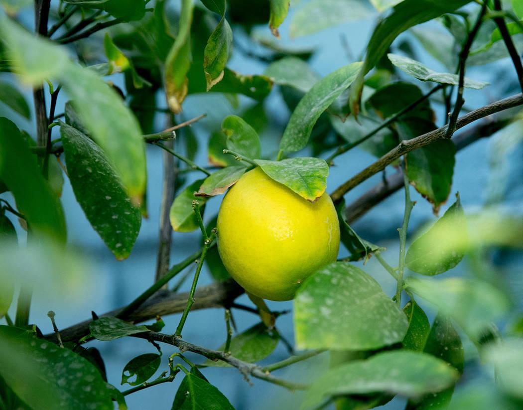 Tonya Harvey Real Estate Millions The beloved lemon tree planted by the original homeowner was ...