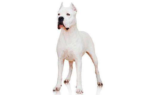 In an undated photo provided by the Westminster Kennel Club is a dogo Argentino. The powerful A ...
