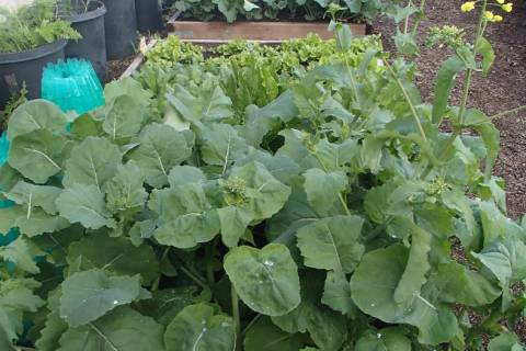 Raised beds for growing vegetables should have fresh compost added every one to two years. (Bob ...