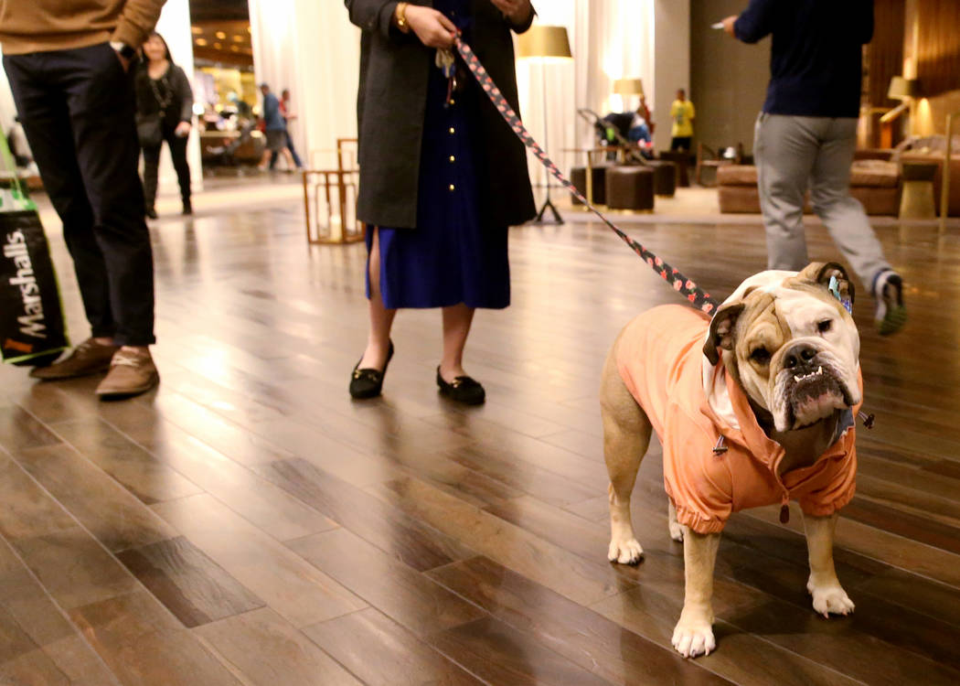Bailey with her owner Ashley Farkas, an MGM Resorts International employee, in the lobby of Del ...