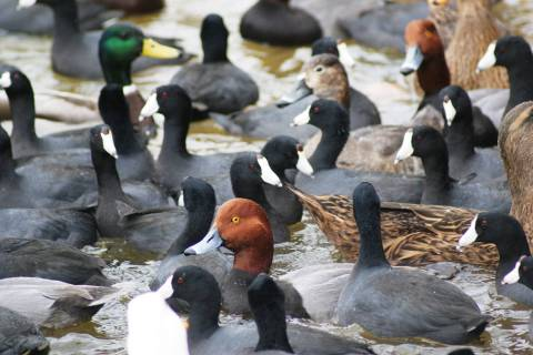 A mixed group of ducks and American coots at Sunset Park, where visitors can get very close loo ...