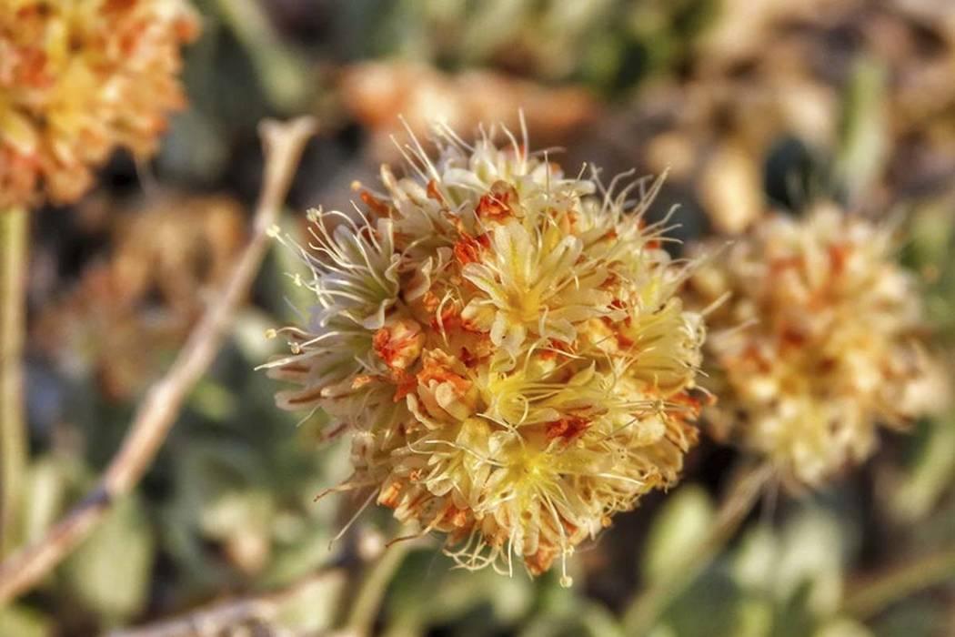 This June 1, 2019 photo shows the rare desert wildflower Tiehm's buckwheat in the Silver Peak R ...