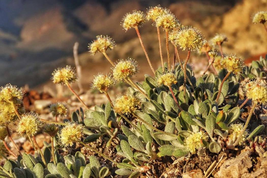 This June 1, 2019, photo provided by the Center for Biological Diversity, shows the rare desert ...
