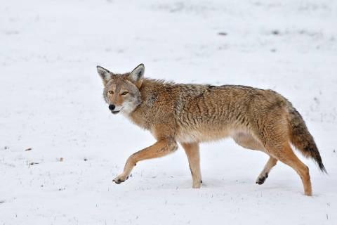 A coyote walks across fresh snow in Boulder, Colo. (AP Photo/Brennan Linsley)
