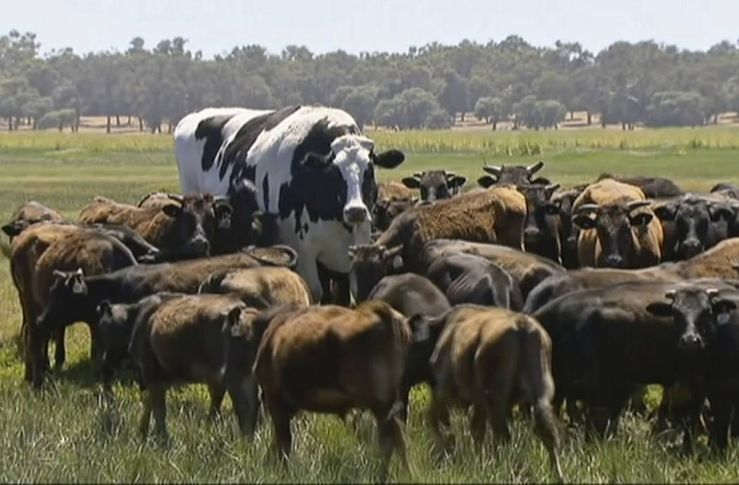 In this image made from video taken Nov. 15, 2018, Knickers the steer, center back, is in paddo ...