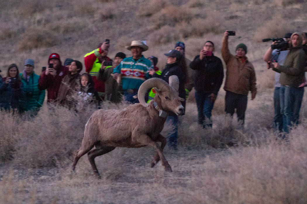 The Nevada Department of Wildlife and Pyramid Lake Paiute Tribe released than 20 bighorn sheep ...