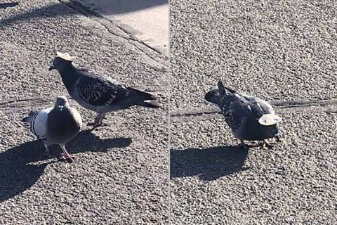 A pigeon with a sombrero in Reno. (Sabra Newby/Twitter)