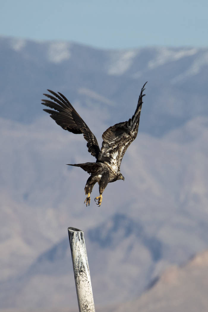 A juvenile bald eagle takes flight during the annual eagle survey conducted by the National Par ...