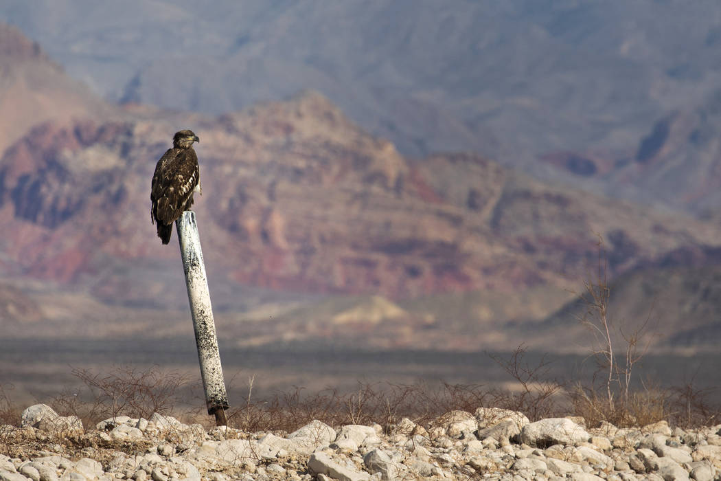 A juvenile bald eagle perches on a former buoy post during the annual eagle survey conducted by ...