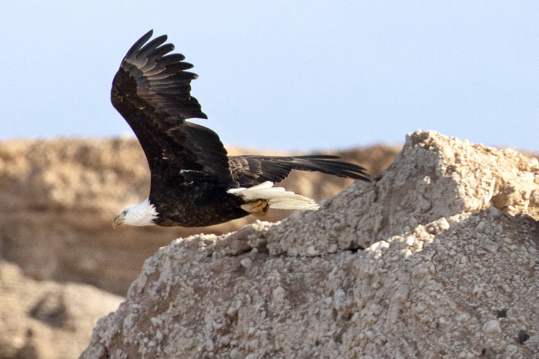 An adult bald eagle flies along the shore of Lake Mead during the annual eagle survey conducted ...