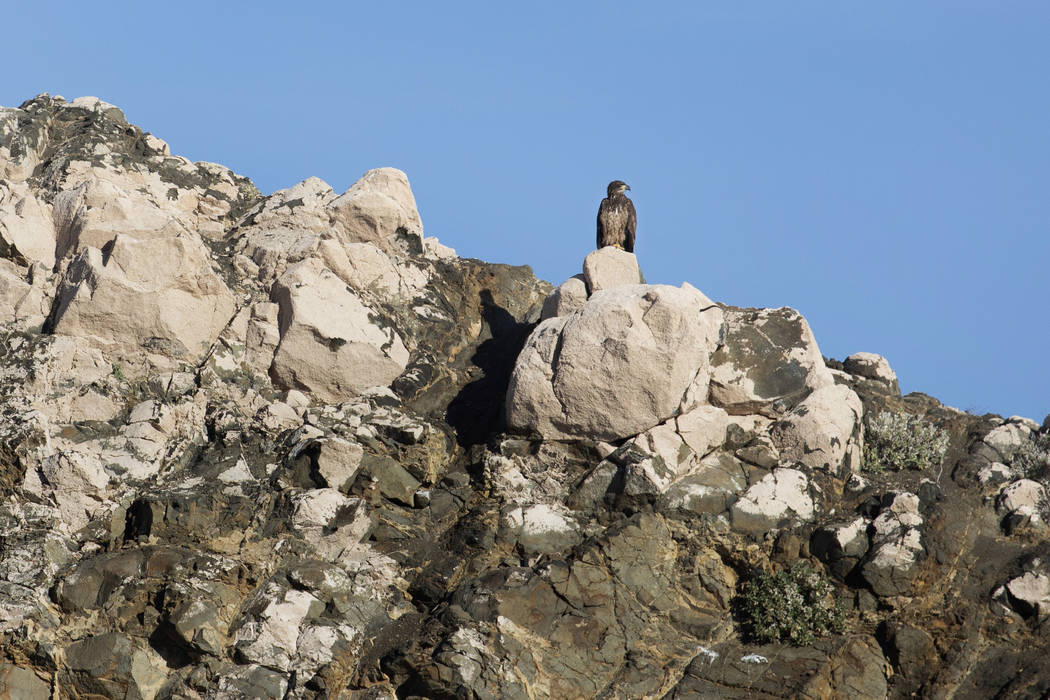 A juvenile bald eagle perches on the shores of Lake Mead during the annual eagle survey conduct ...