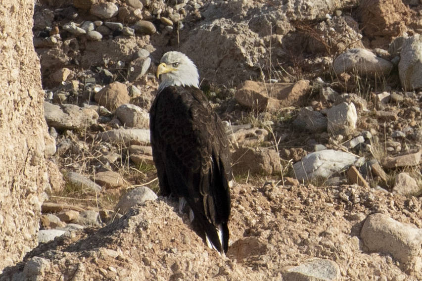An adult bald eagle is counted for the annual eagle survey conducted by the National Park Servi ...