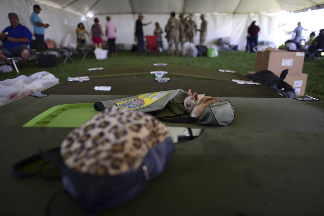 A chihuahua dog sleeps on a cot in a tent city for hundreds of people displaced by earthquakes ...