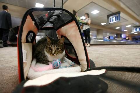 In a Sept. 20, 2017, file photo Oscar the cat sits in his carry on travel bag after arriving at ...