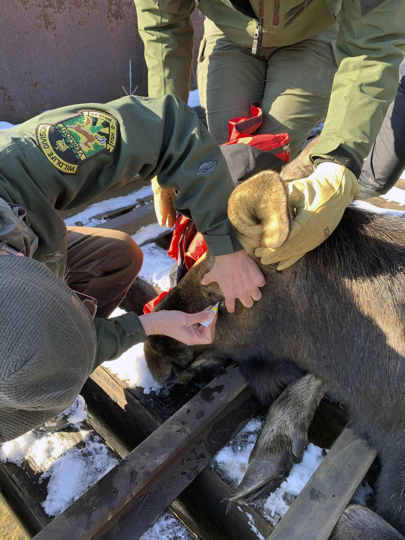 In this Wednesday, Jan. 22, 2020 photo provided by the Vermont Fish and Wildlife Department loc ...