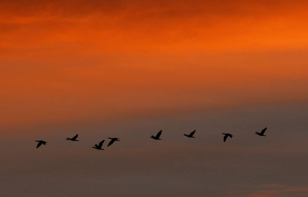 A flock of birds fly over McCarran International Airport during sunrise on Friday, Jan. 24, 202 ...