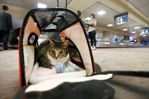 FILE - In this Sept. 20, 2017, file photo Oscar the cat, who is not a service animal, sits in h ...