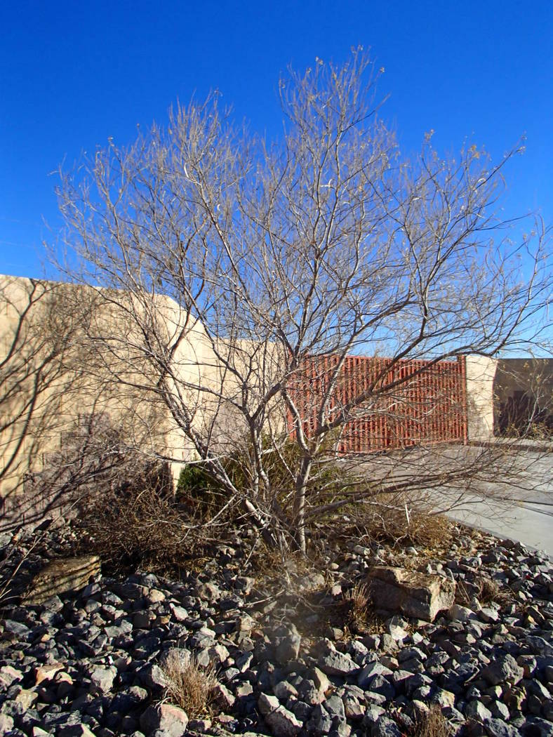 Olive Trees Should Not Be Left In Containers Las Vegas Review