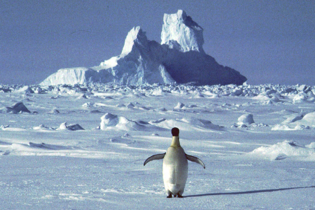 A penguin appears in Antarctica during the southern hemisphere's summer season. (AP Photo/Rodri ...