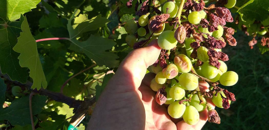 Delay Final Pruning Of Grapes As Long As Possible Las Vegas