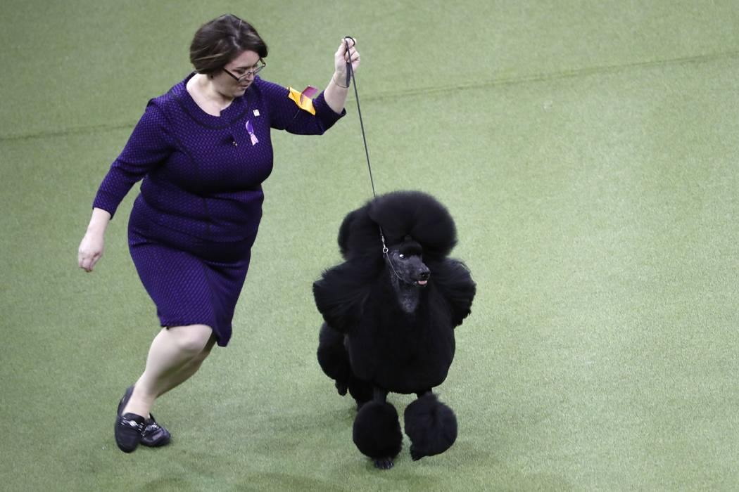 Siba, the standard poodle wins Best in Show at the 144th Westminster Kennel Club Dog Show Tuesd ...