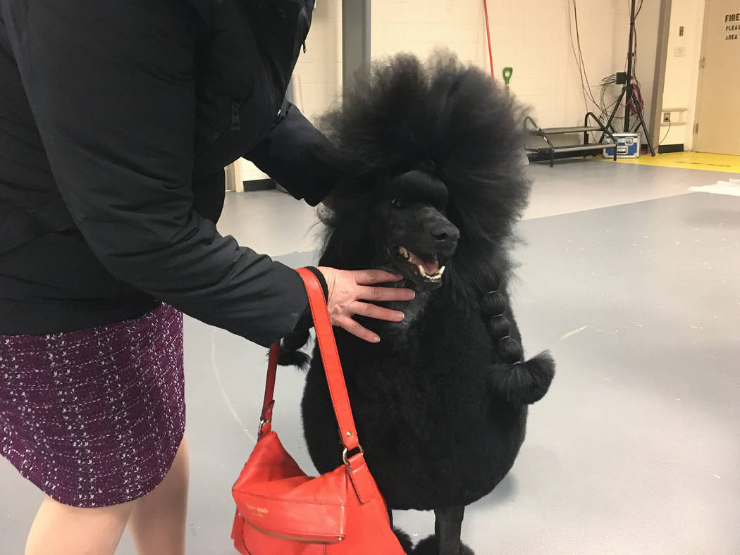 Siba the standard poodle won the nonsporting group at the Westminster Kennel Club on Monday, Fe ...