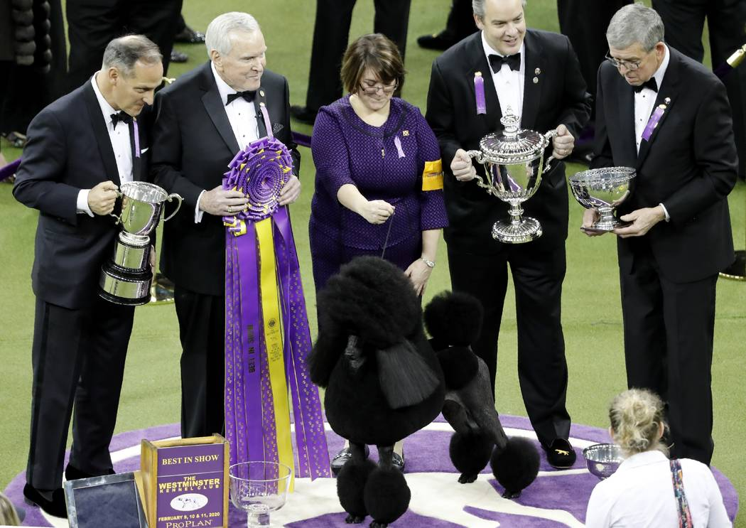 Siba the standard poodle poses for photos after winning Best in Show at the 144th Westminster K ...