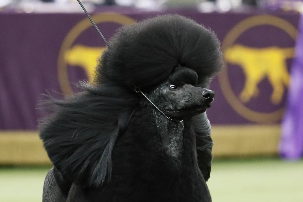 Siba, the standard poodle, competes for Best in Show during the 144th Westminster Kennel Club d ...