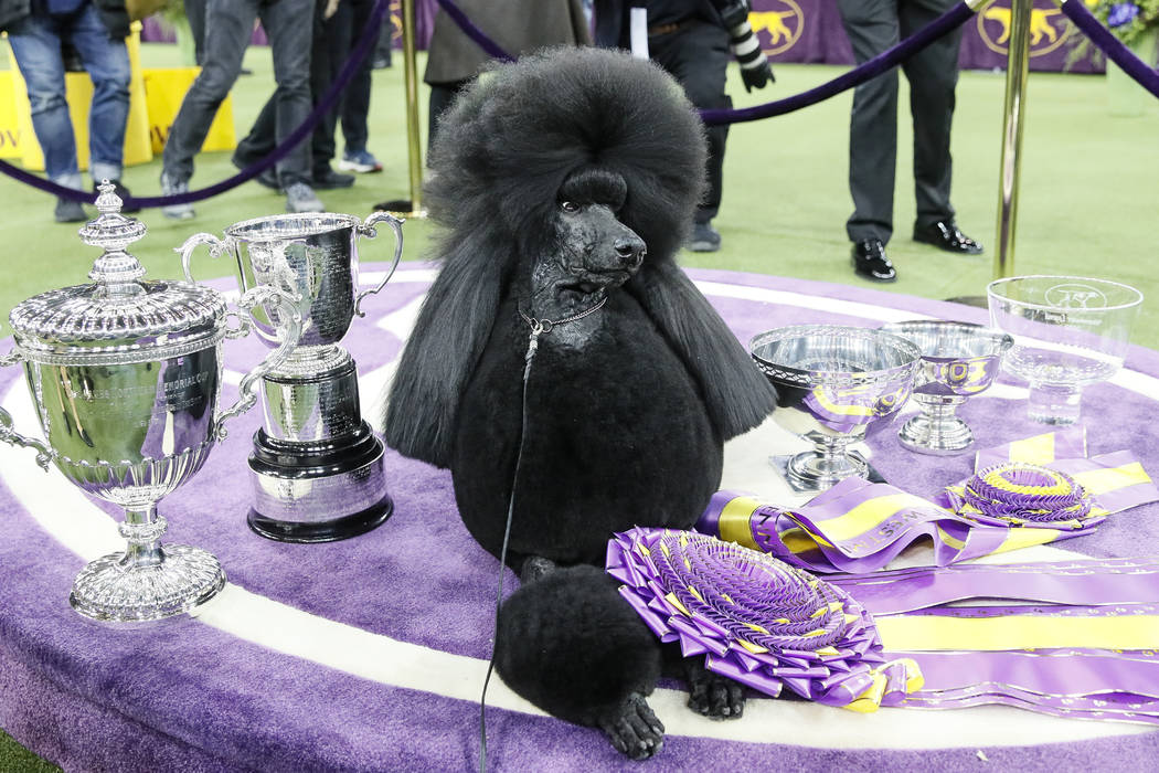 Siba, the standard poodle, poses for photographs after winning Best in Show in the 144th Westmi ...