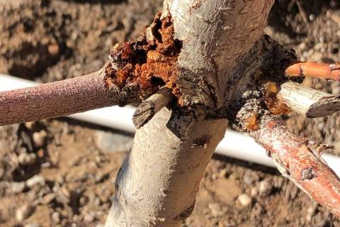This peach tree shows borer damage. (Bob Morris)