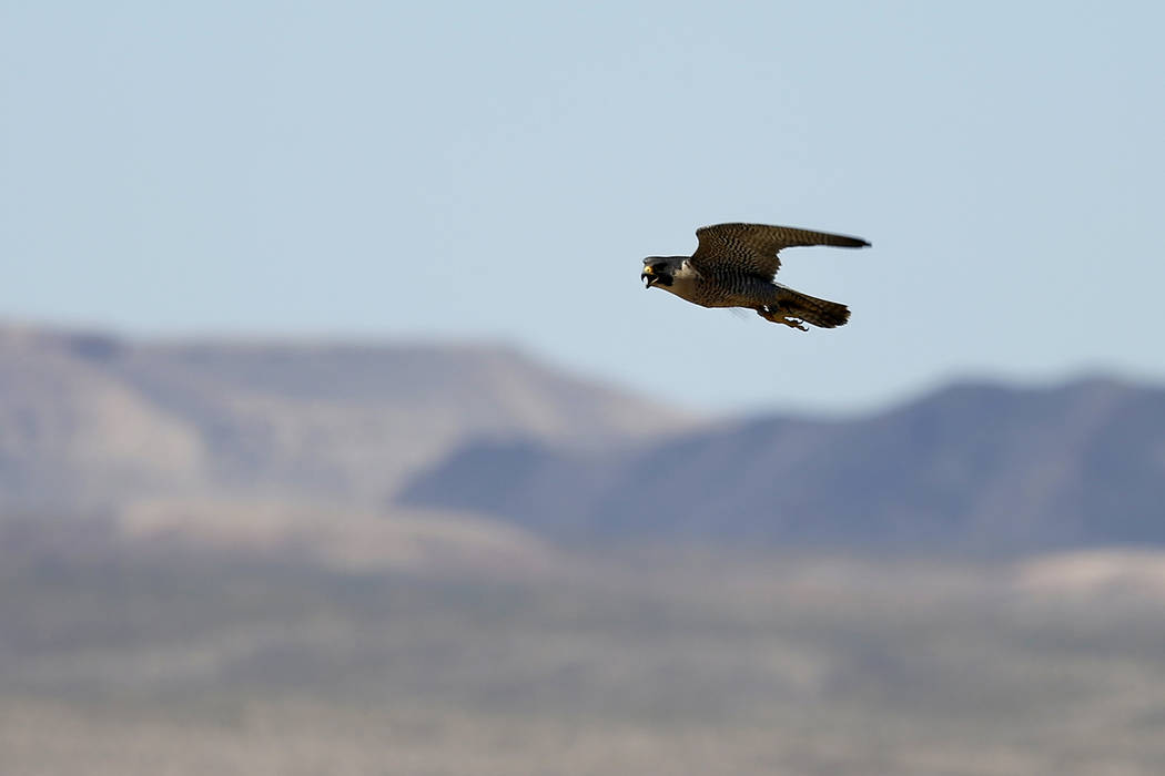 An adult peregrine falcon circles near its nest on a ledge overlooking Lake Mead. (Las Vegas Re ...