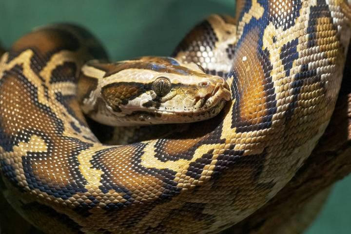 Burmese python (Getty Images)