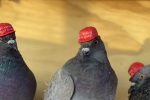 Pigeons with hats back in Las Vegas, this time with Trump twist