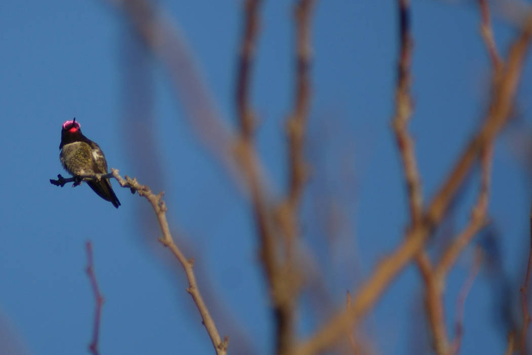 Allegro Park, where this Anna's hummingbird was warming up recently on a chilly morning, is one ...
