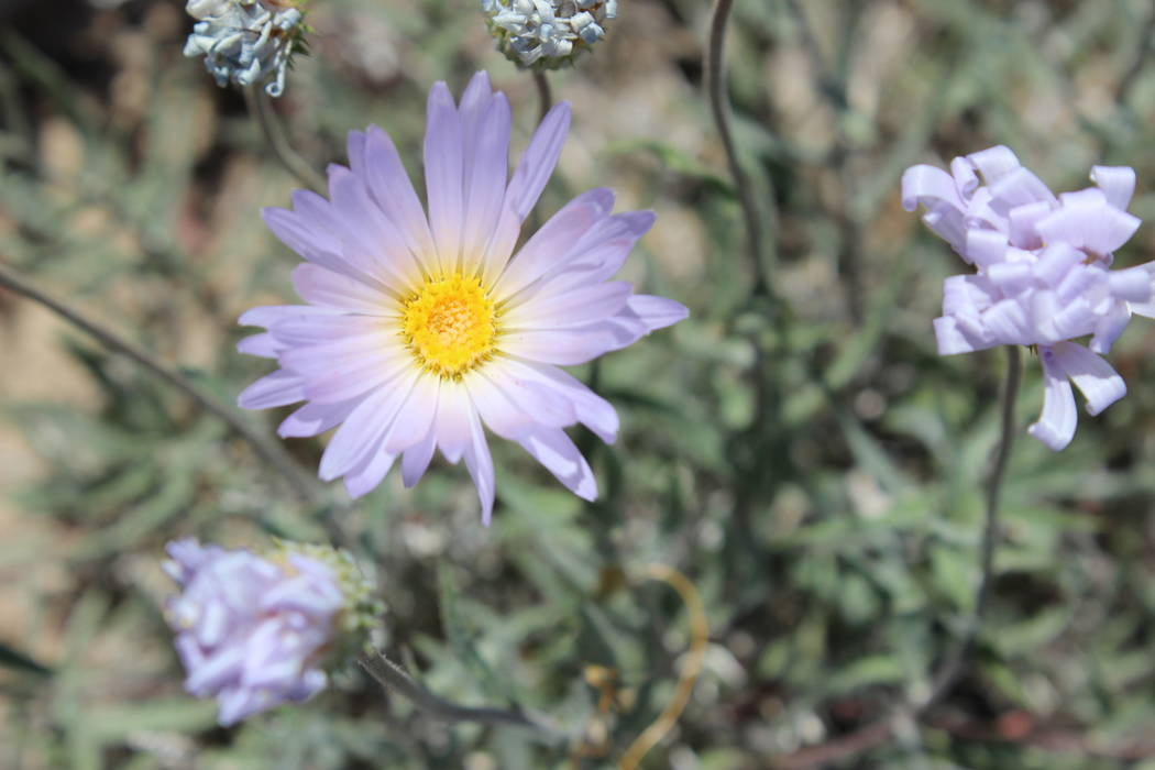 Mojave aster. (Deborah Wall Las Vegas Review-Journal)