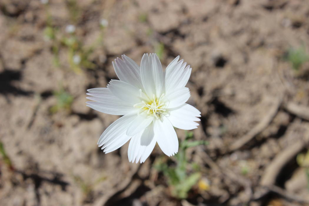 Desert chicory. (Deborah Wall Las Vegas Review-Journal)