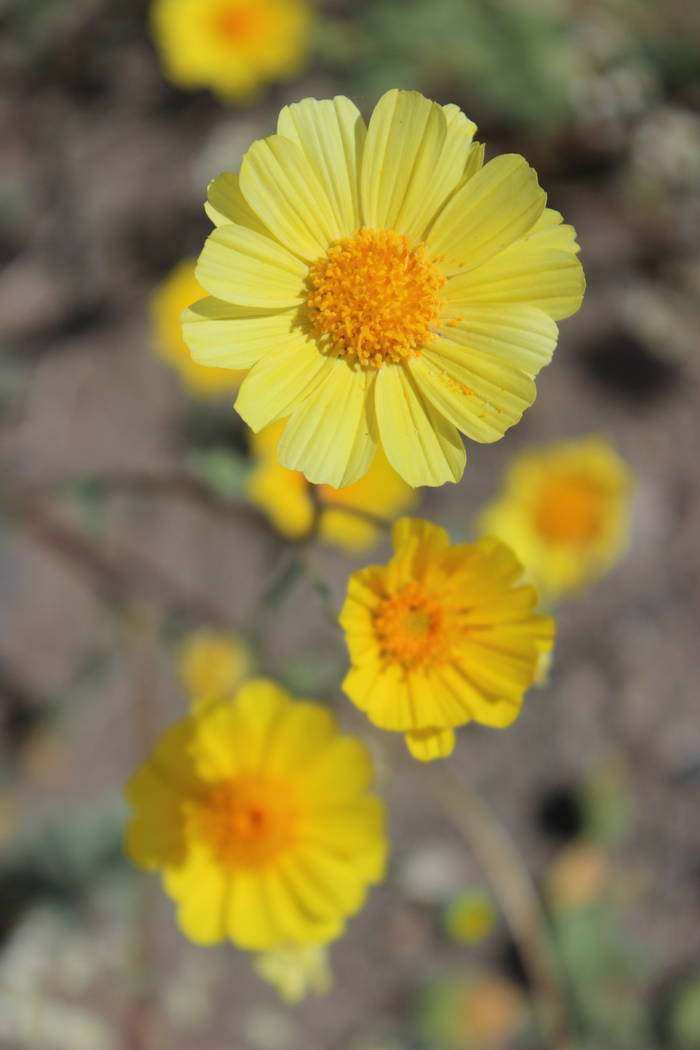 Desert gold. (Deborah Wall Las Vegas Review-Journal)