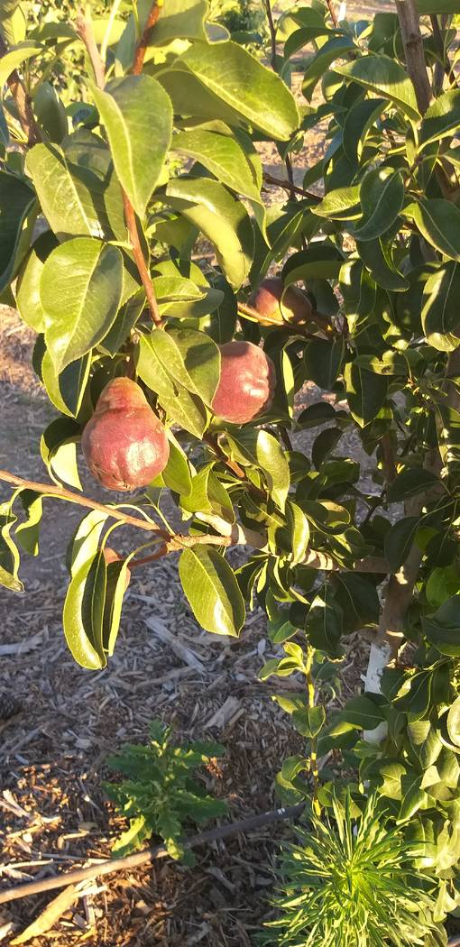 Bob Morris Red Barlett pear tree is a late producing fruit tree. (Bob Morris)