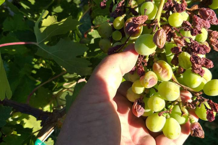 Wet, rainy weather can cause bunch rot in grapes. (Bob Morris)